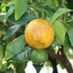 オレンジブロッサム