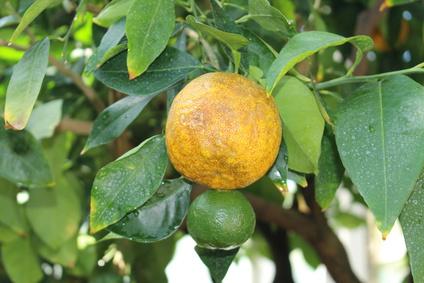 オレンジピール茶